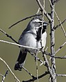 Black-throated Sparrow (33089905253).jpg
