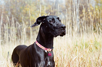 Black Great Dane.jpg