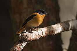 Black and orange Flycatcher.jpg