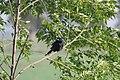 Black drongo.dec.17.jpg