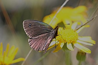 Black ringlet species of insect