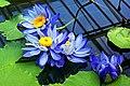 Blaue Seerosen (Nymphaea gigantea).jpg