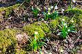 Bledule jarní v PR Králova zahrada 12.jpg