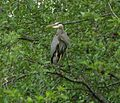 Blue-heron-in-tree.jpg