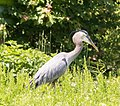 Blue Heron (260878741).jpeg
