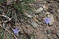 Blue flax Linum lewisii clump.jpg