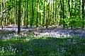 Bluebells (17854300895).jpg