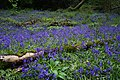 Bluebells and dead wood.jpg