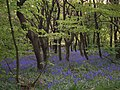 Bluebells at Old House Ground - geograph.org.uk - 427824.jpg