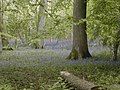 Bluebells in Breamore Wood - geograph.org.uk - 411994.jpg