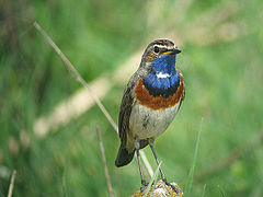 Bluethroat by Daniel Bastaja.jpeg