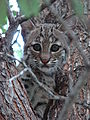 Bobcat-Texas-9134.jpg