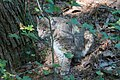 Bobcat (Lynx rufus).jpg