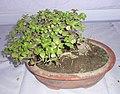Bonsai of Elephant Bush 02.jpg