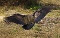 Bostrychia hagedash - landing.jpg