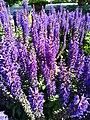 Botanical Garden in Poznan (Salvia nemorosa, Blauhugel) (1).jpg