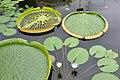 Botanischer Garten der Universität Zürich - Nymphaea 2010-09-16 15-24-40.JPG