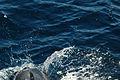 Bottlenose dolphin (4202554036).jpg