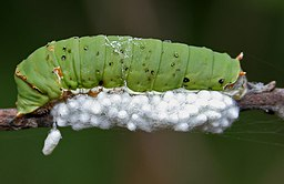 Braconid parasitoid wasp Apanteles sp eggs & Lime Butterfly (Papilio demoleus) cat W IMG 2862.jpg