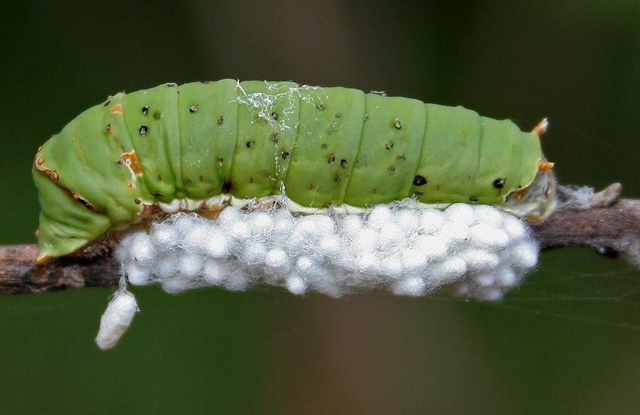 Braconid parasitoid wasp Apanteles sp eggs & Lime Butterfly (Papilio demoleus) cat W IMG 2862