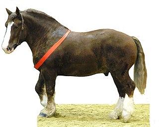 Breton horse horse breed
