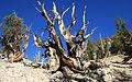 Bristlecone Pinus longaeva dead monarch.jpg