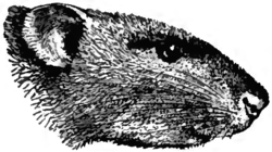 Britannica Rat - Brown Rat.png