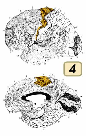 Brodmann area 4 - Brodmann area 4 (orange)