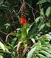 Bromeliad (Aechmea mertensii) (26114825568).jpg