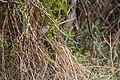 Brown-crested flycatcher (40787918833).jpg