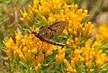 Brown Drake Mayfly (Ephemera simulans) on a Yellow Rubber Rabbitbrush Seedskadee NWR (14847301213).jpg