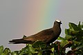 Brown Noddy with rainbow (41375433495).jpg
