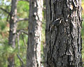 Brown head nuthatch on tree at Wells Bay pitcher Plant bog.jpg