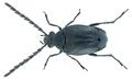 Bruchidius nudus (Allard, 1868) (22748814836).png