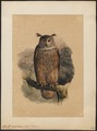Bubo maximus - 1700-1880 - Print - Iconographia Zoologica - Special Collections University of Amsterdam - UBA01 IZ18400061.tif