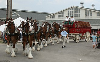 Studebaker - Studebaker wagon hauled by eight Budweiser Clydesdales in Wisconsin, 2009