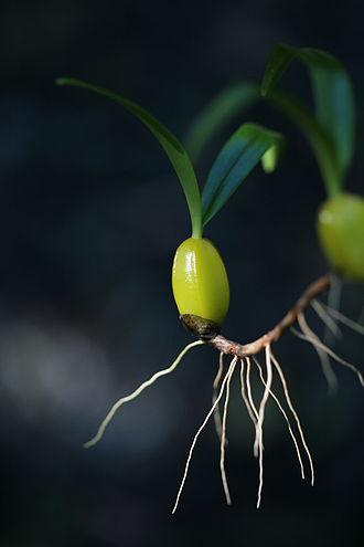 Pseudobulb - Heteroblastic pseudobulb of Bulbophyllum nutans composed of a single internode