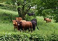 Bull and cows, Bickley Mill - geograph.org.uk - 828715.jpg