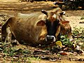 Bull in rest.jpg