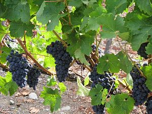 English: Bunches of grapes on vines at Trinity...