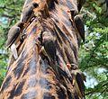 Buphagus africanus, Serengeti, Tanzania 1.jpg