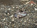 Burrowing Frog Sphaerotheca breviceps by Dr. Raju Kasambe DSCN6848 (13).jpg
