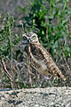 Burrowing Owl (14724675104).jpg