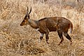 Bushbuck (Tragelaphus scriptus) male ... (50228509241).jpg