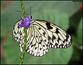 Butterfly (4615855095).jpg