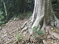 Buttress Roots, Fig Tree.jpg