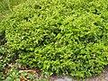 Buxus microphylla Bukszpan drobnolistny 2019-04-28 01.jpg