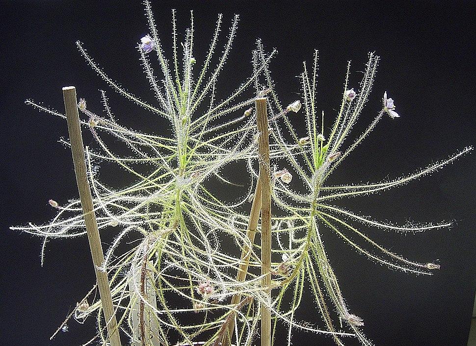 ByblisLinifloraHabitus