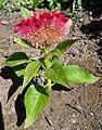 Célosia cristata plante rose-rouge.JPG