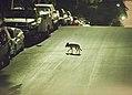 C-144 crossing street (19896711640).jpg